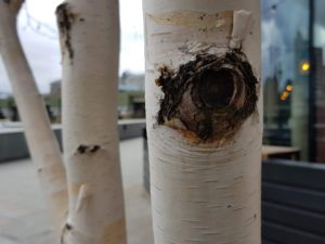 ash tree and birch tree can both be tapped